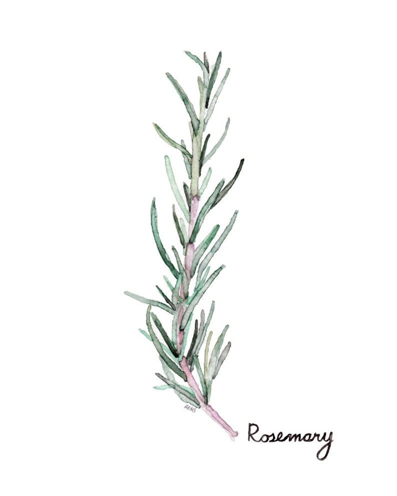 Rosemary Herb Painting  Print from my Original Watercolor image 0