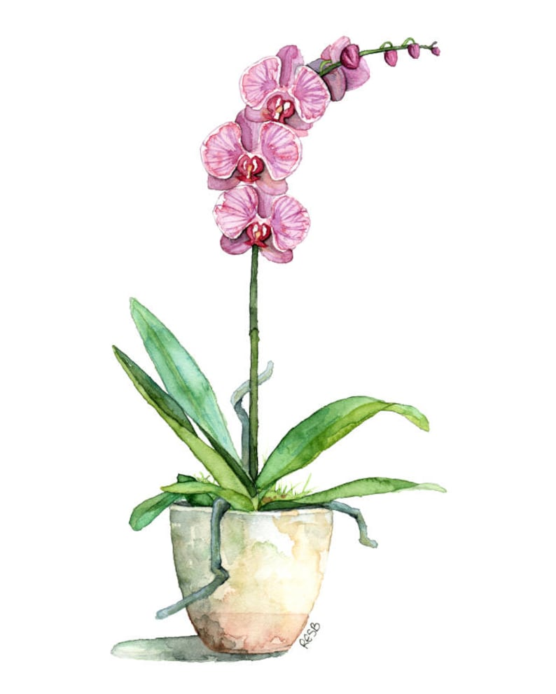 Watercolor Orchid Painting  Print titled Fuchsia image 0