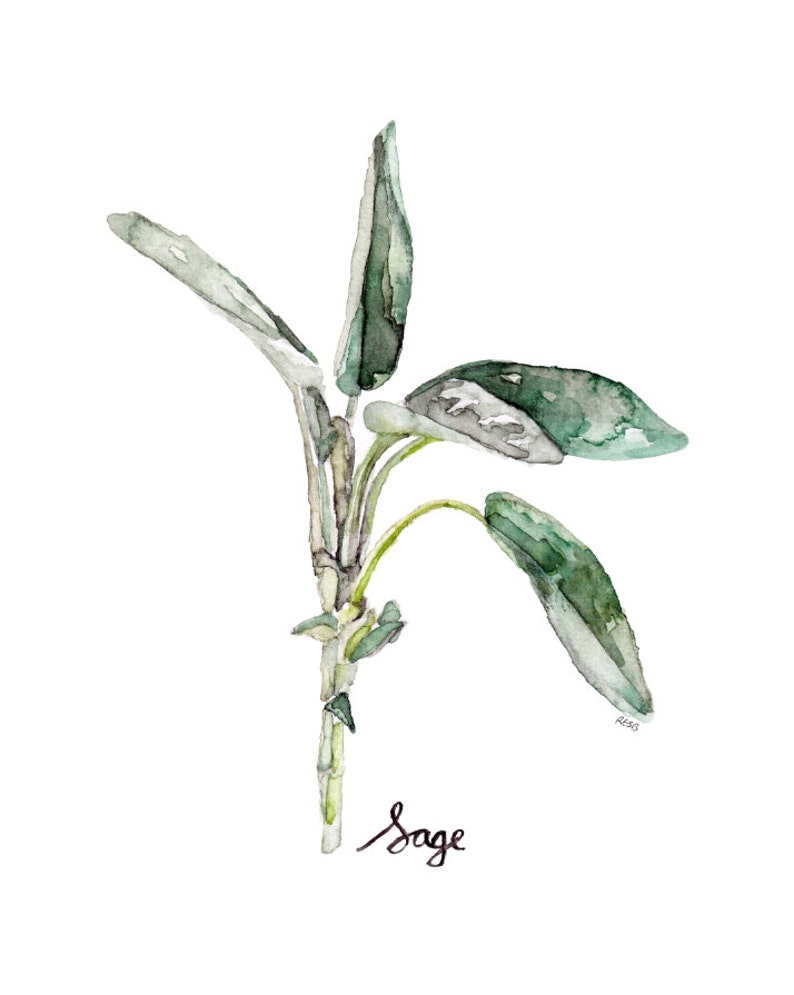 Sage Herb Painting  Print from Original Watercolor Painting image 0