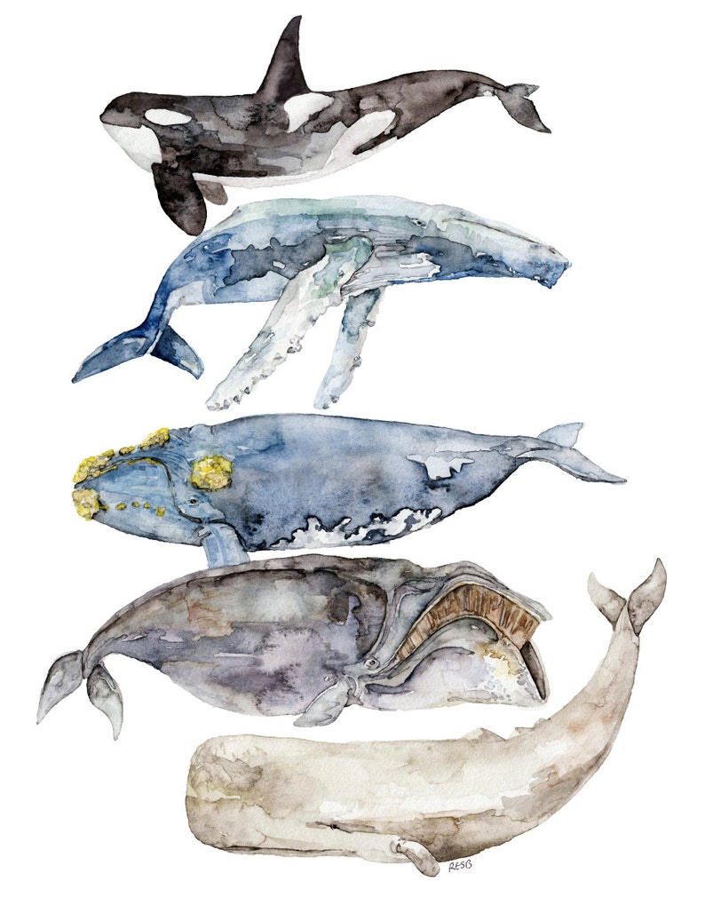 Whale Species Whale Painting Watercolor Painting Whale Art image 0