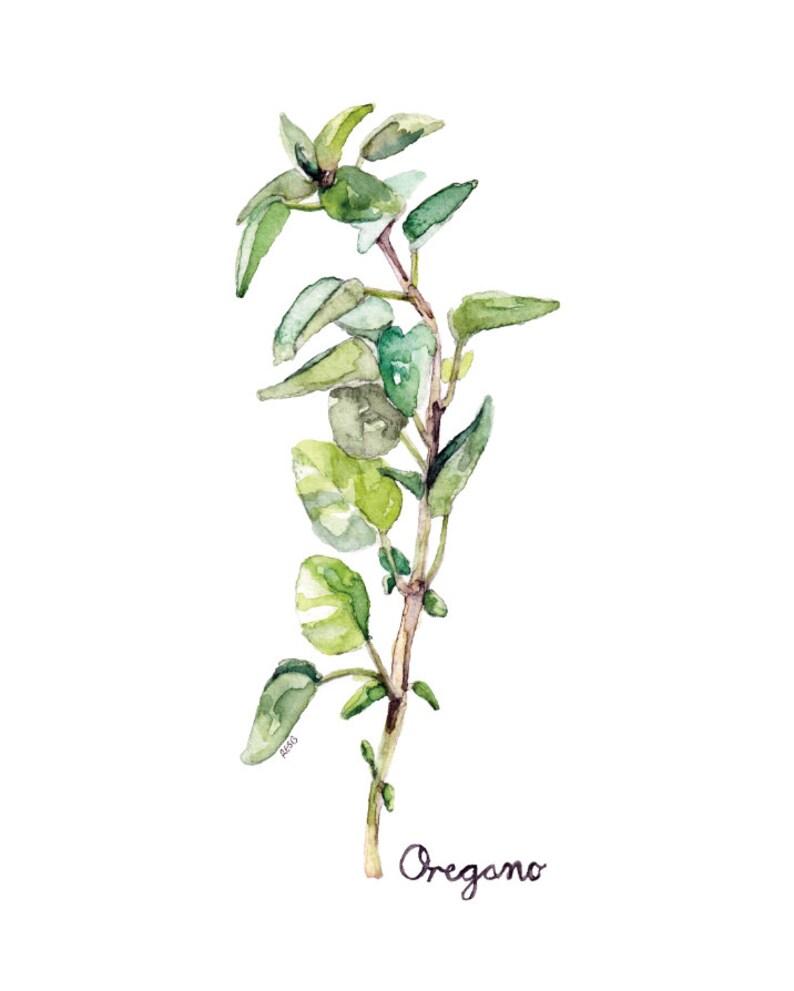 Oregano Herb Painting  Print from Original Watercolor image 0