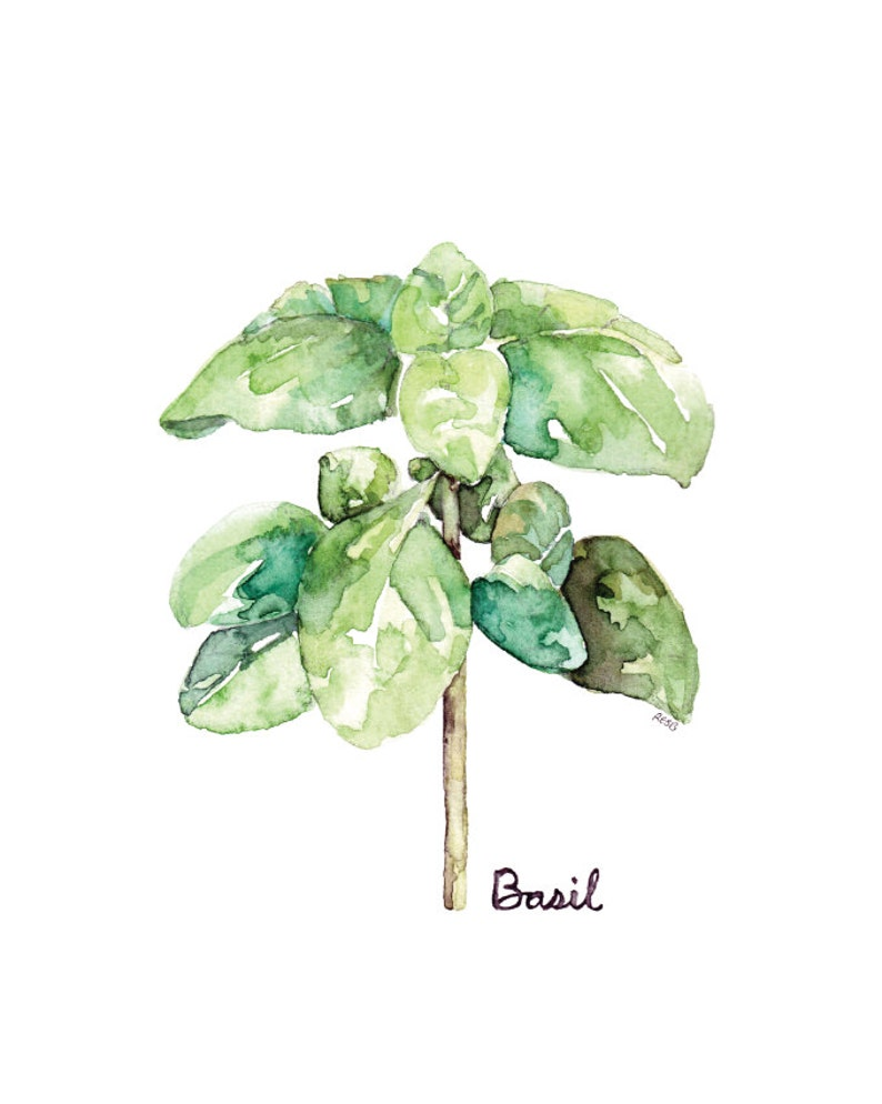 Basil Herb Painting  Print from my Original Watercolor image 0