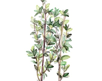 """Thyme Herb Painting - Print from Original Watercolor Painting, """"Thyme"""", Kitchen Decor, Green Herb, Botanical"""