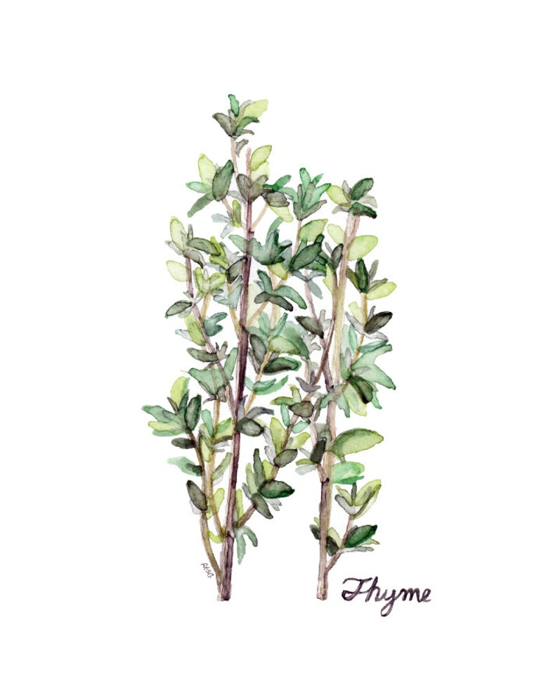 Thyme Herb Painting  Print from Original Watercolor Painting image 0