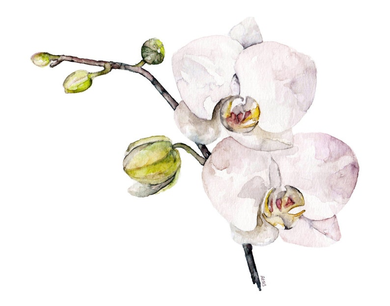 Orchid Painting  Print from Original Watercolor Painting image 0