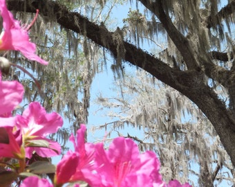 Magnolia Plantaition