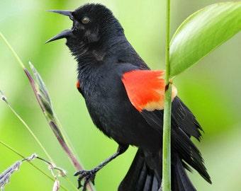 Red Winged Black Bird photograph, Florida wetlands Bird on a branch