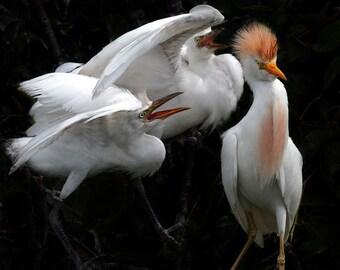 Bird photography Cattle Egret chicks Nesting Mating Mom feeding chicks home decor