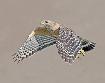 Red Shouldered Hawk flying photograph, Florida birds Blue wall decor