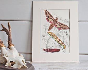Antique Bookplate of Colourful Hawk Moth 1897, Fine Art Print, Vintage Nature Print