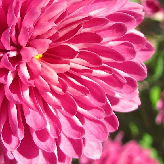 Pink Mum Flower - Nature Photography - Photo Digital Download