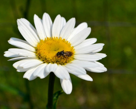 Shasta Daisy Pollination Photograph Digital Download Nature Photography White Flower Leucanthemum × Superbum