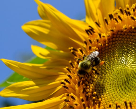 Bumblebee on Sunflower Photograph Digital Download Nature Photography Blue Sky