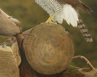 Gos. Limited Edition Fine Art Giclee Print of a Goshawk. Individually signed and numbered by the artist.