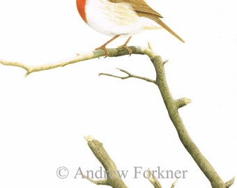 European Robin. Limited Edition Fine Art Giclee print. Individually signed and numbered by the artist.