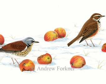 Fieldfare & Redwing. Limited Edition Giclee print. From Andrew's book A-Z of Bird Portraits.Individually signed/numbered by the artist.