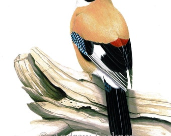 Eurasian Jay. Limited Edition Fine Art Giclee print. Individually signed and numbered by the artist.