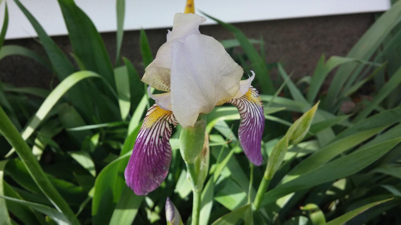 1 Purple And White Bearded Iris Rhizome Live Iris Flowers Iris Etsy