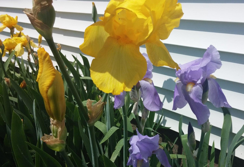 Single Iris Bulb Bearded Iris Iris Rhizome Live Iris Flowers Etsy