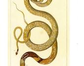 Antique Nature Art, Vintage Re print Albertus Seba 18th Century, Cobra, Zoology, Botany Illustration, 13.25 quot x 9.5 quot