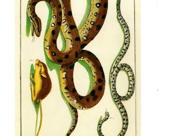 "Antique Nature Art, Vintage Re print Albertus Seba 18th Century, Anaconda, Botany Illustration, 13.25"" x 9.5"""
