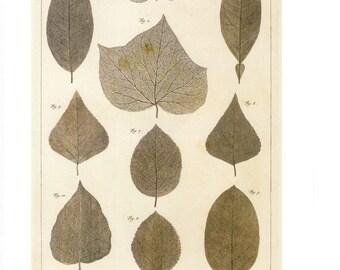 "Vintage Nature Art, Old Re print Albertus Seba 18th Century, Skeletons of Leaves, Zoology, Botany Illustration, 11"" x 14"""