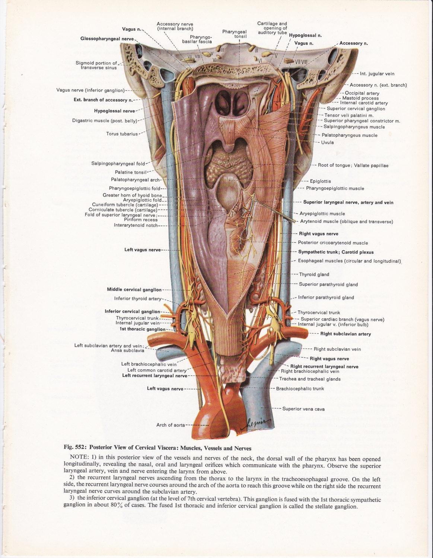 Vintage Anatomy Illustration Wall Art Print of Larynx &