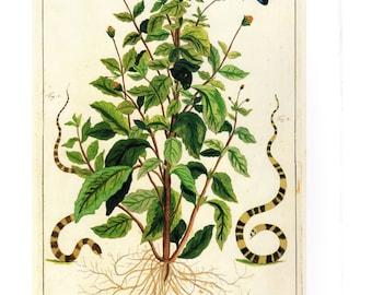 "Vintage Nature Art, Old Re print Albertus Seba 18th Century, Butterflies, Plants, Snakes, Zoology, Botany Illustration, 13.25"" x 9.5"""