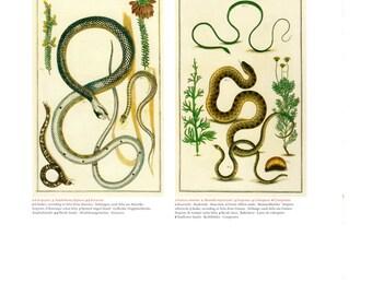 "Antique Nature Art, Vintage Re print Albertus Seba 18th Century, Snakes, Sunflower, Botany Illustration, 13.25"" x 9.5"""