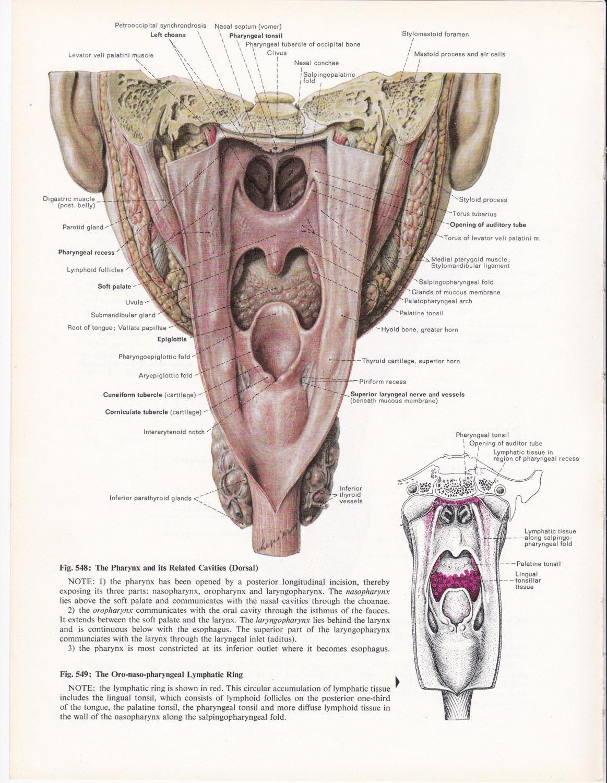 Vintage Anatomy Illustration Wall Art Print of Pharynx | Etsy