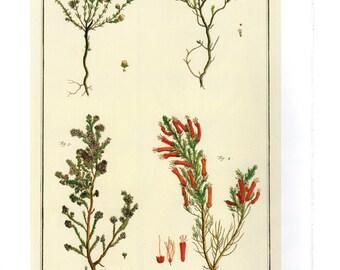 "Vintage Nature Art, Old Re print Albertus Seba 18th Century, Zoology, Botany Illustration, 13.25"" x 9.5"""