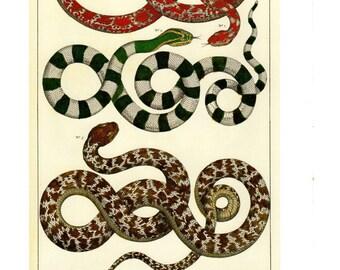 "Antique Nature Art, Vintage Re print Albertus Seba 18th Century, Snakes from Asia, Botany Illustration, 11"" x 14"""