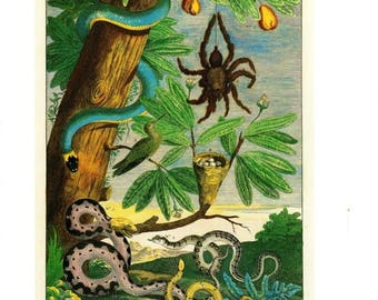 "Antique Nature Art, Vintage Re print Albertus Seba 18th Century, Spider, Botany Illustration, 11"" x 14"""