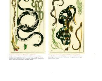 "Antique Nature Art, Vintage Re print Albertus Seba 18th Century, Snakes, Cicada, Spider, Botany Illustration, 13.25"" x 9.5"""