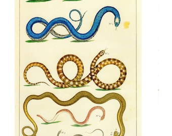 "Antique Nature Art, Vintage Re print Albertus Seba 18th Century, Snakes, Botany Illustration, 13.25"" x 9.5"""