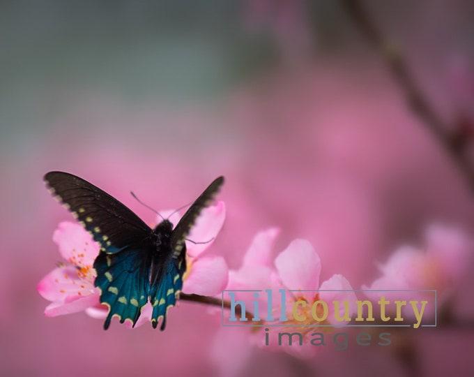 Butterfly & Peach Tree Blooms
