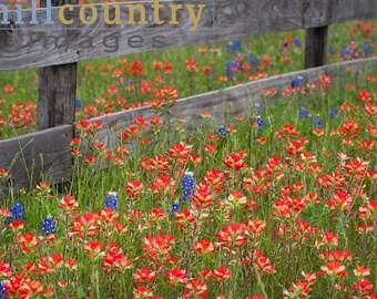 Mini Art Sale - Red Fenceline Texas Hill Country Wildflowers Paintbrush Fine Art Print