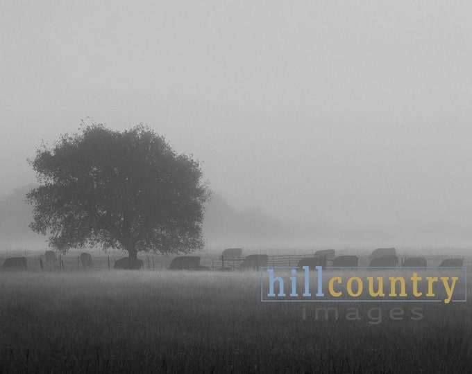 Texas Hill Country Black Angus Cattle Ranch In Fog, Original Signed Western Fine Art Contemporary Wall Print. Abstract, Cowboy Decor