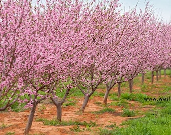 Fredericksburg Texas Hill Country Peach Orchard in Bloom, Original Signed Art Print
