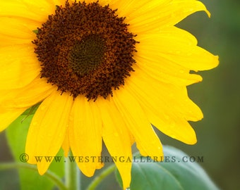 Mini Art Sale - Garden Sunflower