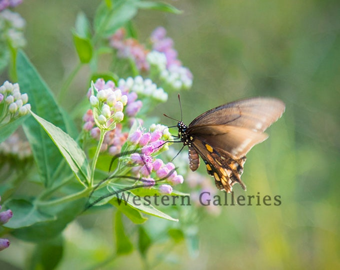 Butterfly on Milkweed, Hill Country Nature Print