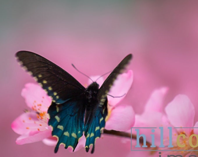 Mini Art Sale - Butterfly & Peach Tree Blooms signed fine art print Tx Hill Country