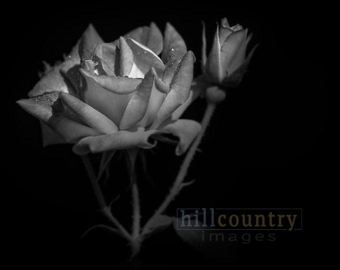 Rose, Photography Fine Art Print