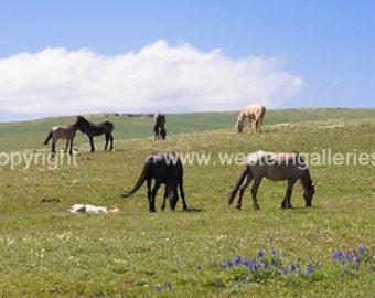 Cloud and His Family, Wild horses on Pryor Mountain Montana Print