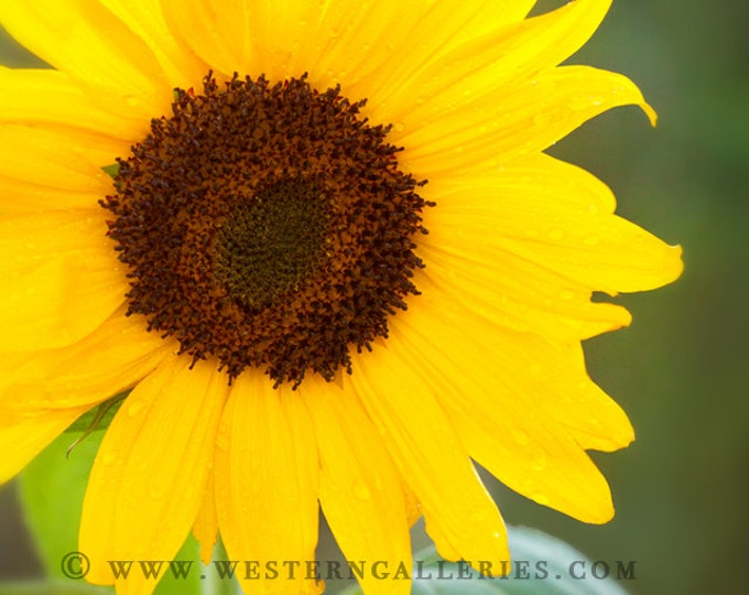 Garden Sunflower Signed Floral Fine Art Print
