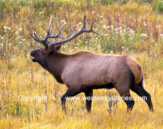 Yellowstone Bull Elk, Signed Fine Art Print