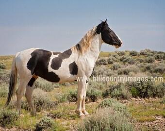Mini Art Sale - Tecumseh, Wild Stallion of McCullough Peaks Wyoming