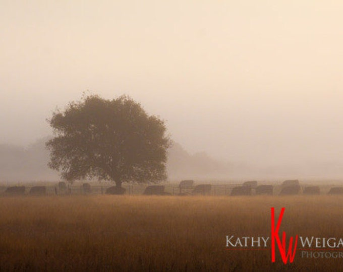 Black Angus Cattle in Fog Signed Print