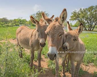 Donkey Trio Fine Art Print