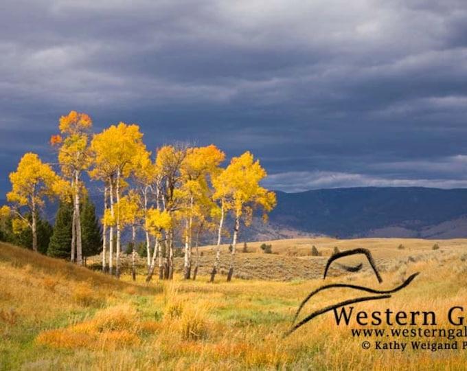 Yellowstone Fall Aspen Trees, Signed Pano Fine Art Print